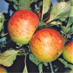 Trees - Fruit